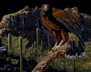 Harris' Hawk, Sonoran Desert